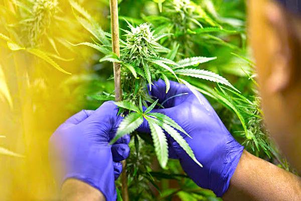 addiction recovery ebulletin marijuana research