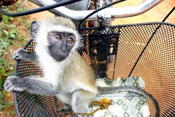 addiction recovery ebulletin monkey experiments